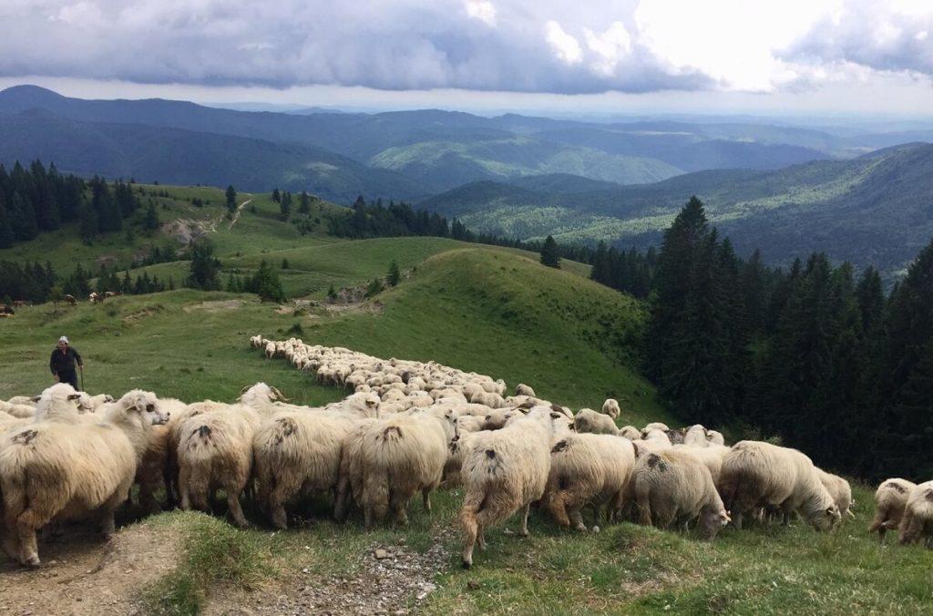 כבשים ברומניה לצד הדרך