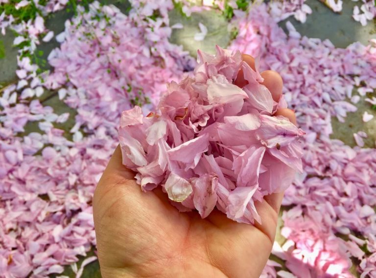 פריחה אביבית בבודפשט