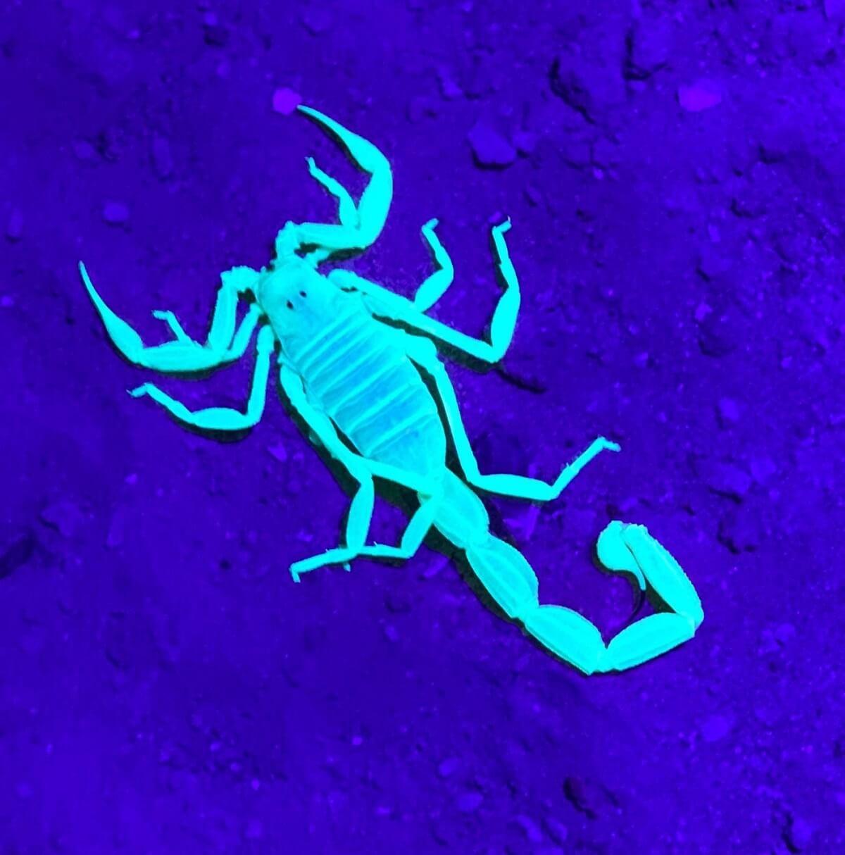 סיור לילי במדבר חיפוש עקרבים
