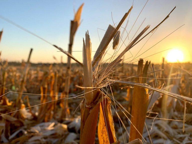 שדה תירס קצור בנגב הצפוני