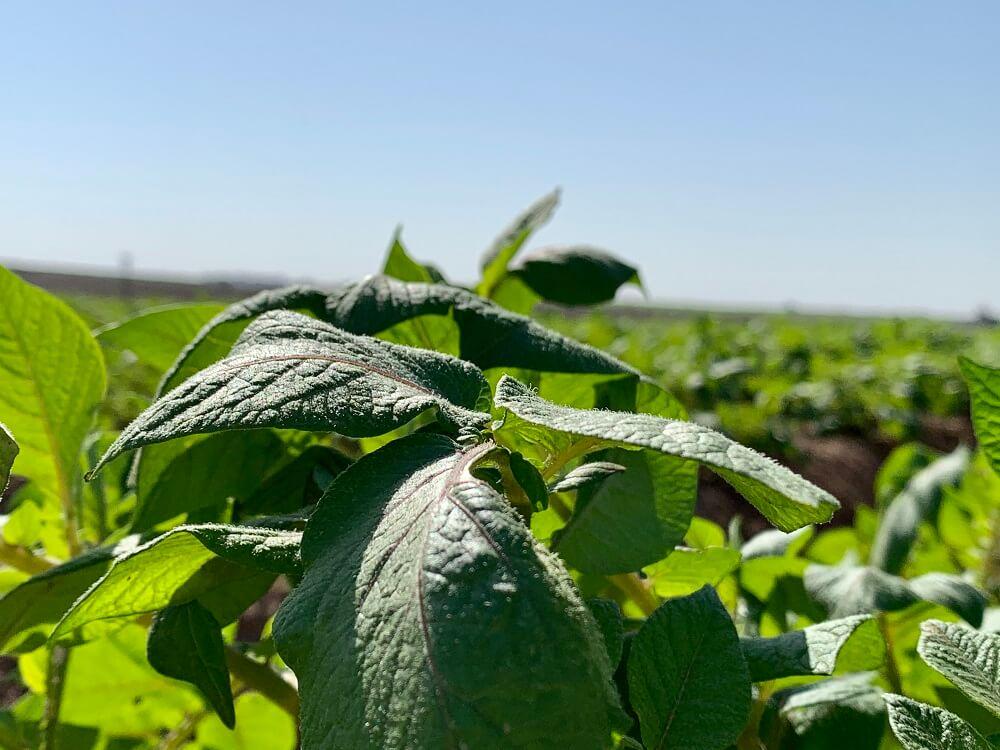 שדה תפוחי אדמה בתרונות רוחמה