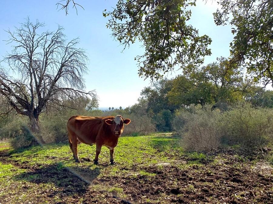 פרה רועה בשמורת אלוני אבא