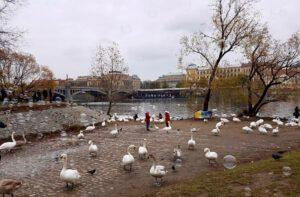 ברבורים בנהר הוולטובה בפראג