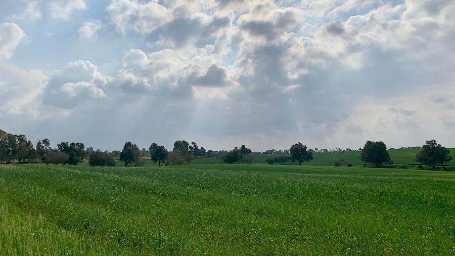 שדות חיטה בנגב המערבי